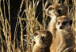 Ewoks Meerkats