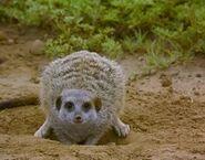 Meerkats Divided - Unamed Bullied Female