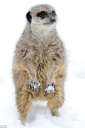 London Zoo Meerkat