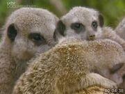 Meerkats Divided, Addo Gang