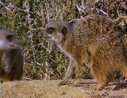 Meerkats Divided - Unamed Injured Male