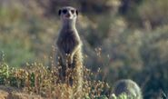 Meerkat Adventure - Karoo Meerkat