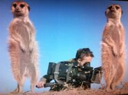 Meerkats and cameraman