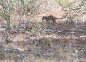 Two Baobab Meerkats