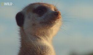 Kleintjie on Mighty Meerkats