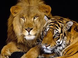 Lion and tiger.jpeg