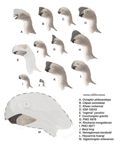 File:Oviraptorinaeprofiles.jpg