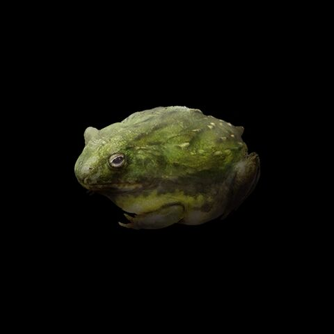 File:African Bullfrog.jpg
