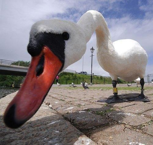 File:61 Goose Close Up.jpg