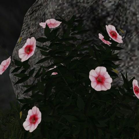 File:White pink viola.png