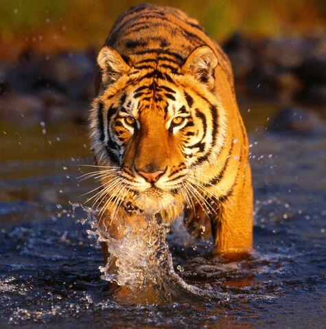 File:Tiger Aryavart.jpg