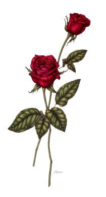 File:Roses-jpg.png