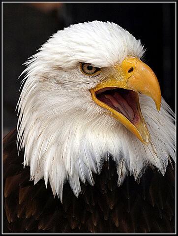 File:Águila de cabeza blanca.jpg