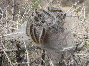 800px-Western tent caterpillars Malacosoma californicum in Joshua Tree NP