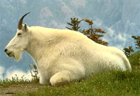File:Mountain-goat.jpg