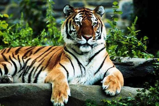 File:Royal-Bengal-Tiger.jpg