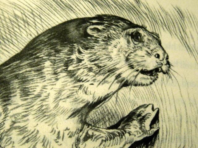 File:Corr otter.jpg