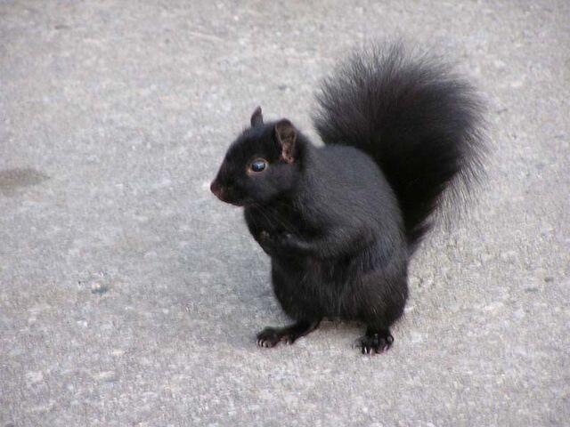 File:Squirrel.jpg