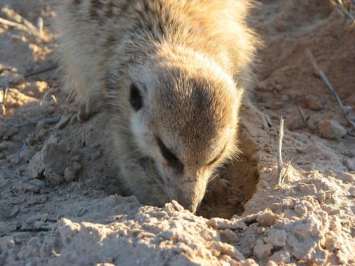 File:Rattler foraging.jpg.jpg
