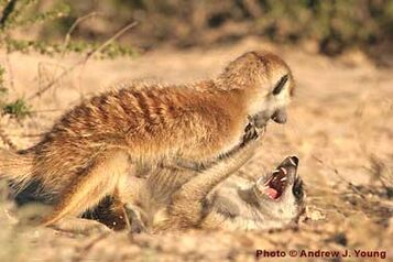 Meerkats fight