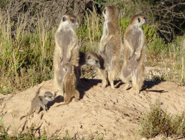 File:Ocicats Mob.jpg
