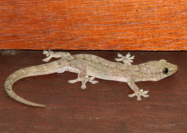 File:House-Gecko-Photos.jpg