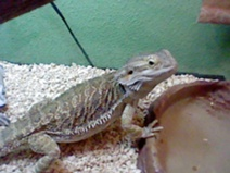 File:Wolf's Bearded dragon.JPG