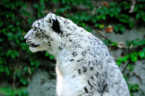 File:Snow Leopard (uncia uncia).jpg
