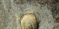 Geragnostus waldorfstatleri