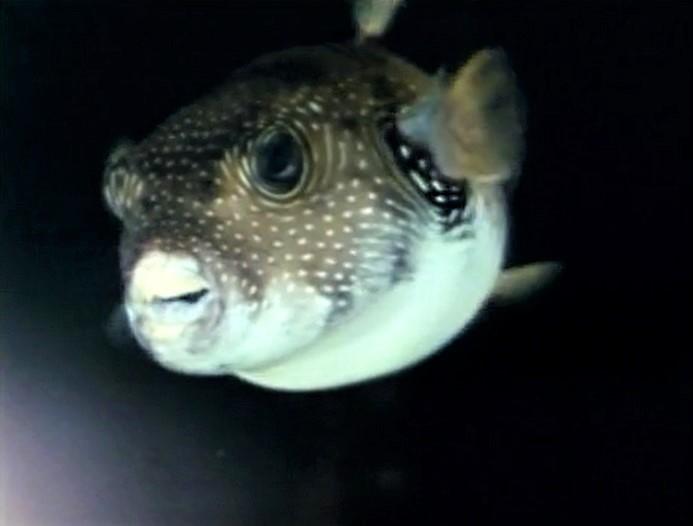 File:Prettyfish-refilm.jpg