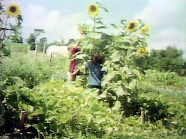 File:Sunflowers.jpg