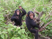 2006-12-09 Chimpanzees D Bruyere