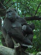 Gorilla gorilla at the Bronx Zoo 007