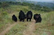 Mitani Ngogo chimps listening to distant calls