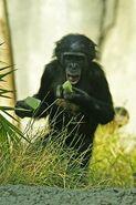 Lightmatter chimpanzee2