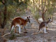Nationalgeographic-261878-red-kangaroo 36557 600x450