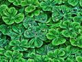 Ab clovers.jpg