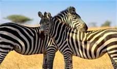 File:Zebras.jpg