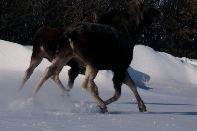 File:Moose and baby running.jpg