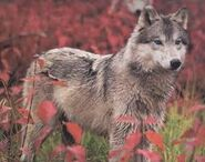 Artamis's wolf form