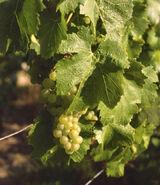 Lovia - Chardonnay grapes