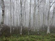 Birch plantation Oceana