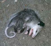 Stupid Possum