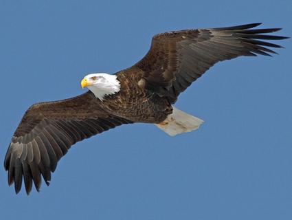 File:Bald eagle adult2.jpg