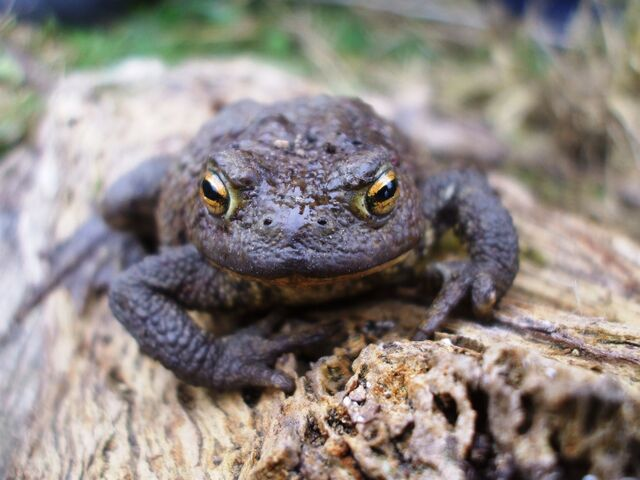 File:Common toad 3.JPG