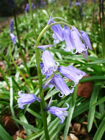 File:Bluebell.JPG
