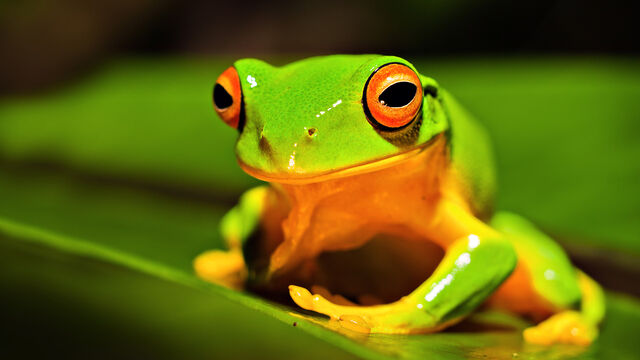 File:Orange-thighed-frog-animals-for 528708.jpg
