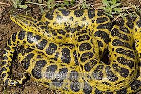 File:Yellow Anaconda.jpg
