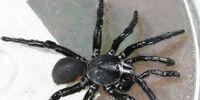 Black purse-web spider