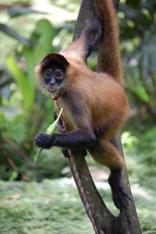 File:Geoffroy's spider monkey.jpg